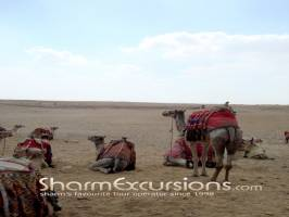 Camels at Giza Pyramid