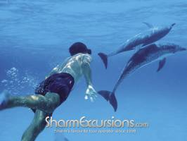 Swimming with dolphins in Sharm