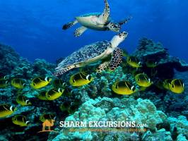 Sea Turtles on Tiran Island Tour