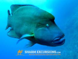 Large fish at Tiran Island